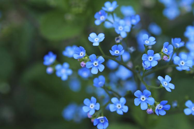 forget-me-not-day-nov-11
